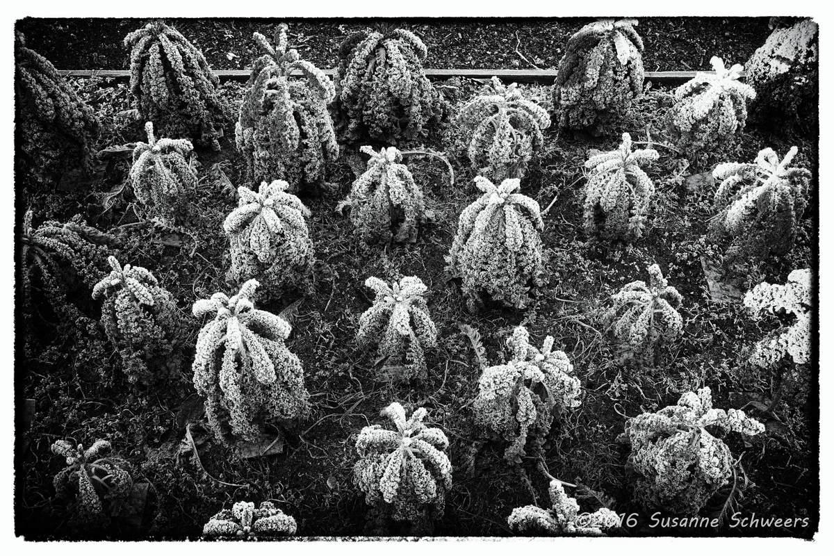Grünkohlplantage