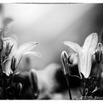 Blume 13